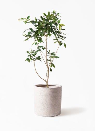 観葉植物 アマゾンオリーブ (ムラサキフトモモ) 10号 サンディ シリンダー 白 付き