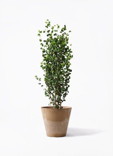 観葉植物 フィカス ベンジャミン 7号 バロック アートストーン ラウンド ベージュ 付き