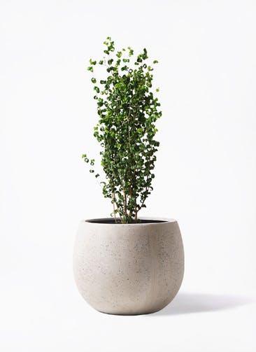 観葉植物 フィカス ベンジャミン 7号 バロック テラニアス ローバルーン アンティークホワイト 付き