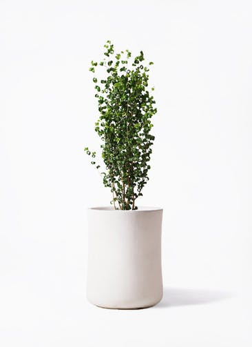 観葉植物 フィカス ベンジャミン 7号 バロック バスク ミドル ホワイト 付き