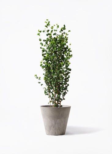 観葉植物 フィカス ベンジャミン 7号 バロック アートストーン ラウンド グレー 付き
