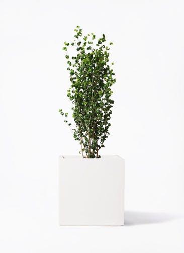 観葉植物 フィカス ベンジャミン 7号 バロック バスク キューブ 付き