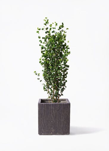 観葉植物 フィカス ベンジャミン 7号 バロック ベータ キューブプランター ウッド 茶 付き
