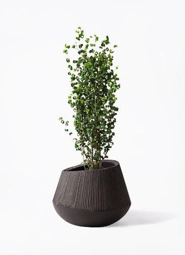 観葉植物 フィカス ベンジャミン 7号 バロック エディラウンド 黒 付き