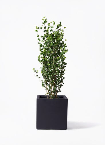 観葉植物 フィカス ベンジャミン 7号 バロック ベータ キューブプランター 黒 付き
