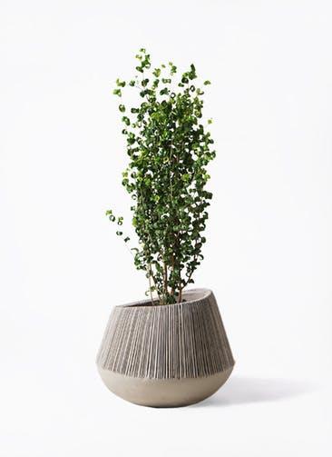 観葉植物 フィカス ベンジャミン 7号 バロック エディラウンド グレイ 付き