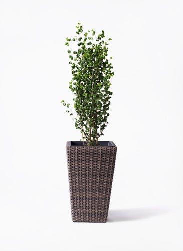 観葉植物 フィカス ベンジャミン 7号 バロック ウィッカーポット スクエアロング OT 茶 付き