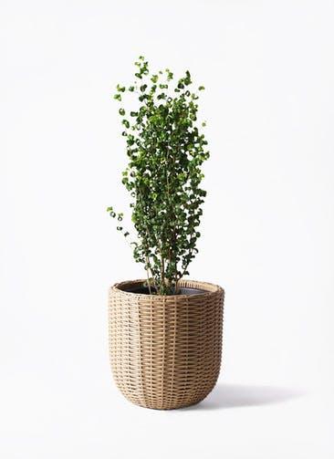観葉植物 フィカス ベンジャミン 7号 バロック ウィッカーポットエッグ ベージュ 付き