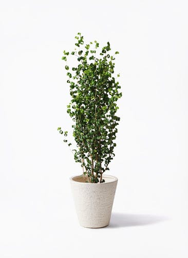 観葉植物 フィカス ベンジャミン 7号 バロック ビアスソリッド 白 付き
