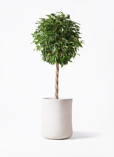観葉植物 フィカス ベンジャミン 8号 玉造り バスク ミドル ホワイト 付き