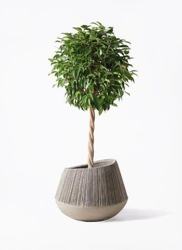 観葉植物 フィカス ベンジャミン 8号 玉造り エディラウンド グレイ 付き