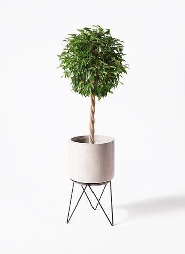 観葉植物 フィカス ベンジャミン 8号 玉造り ビトロ エンデカ クリーム アイアンポットスタンド ブラック 付き