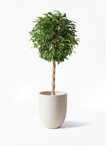 観葉植物 フィカス ベンジャミン 8号 玉造り ビアスアルトエッグ 白 付き
