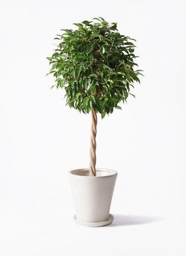 観葉植物 フィカス ベンジャミン 8号 玉造り サブリナ 白 付き
