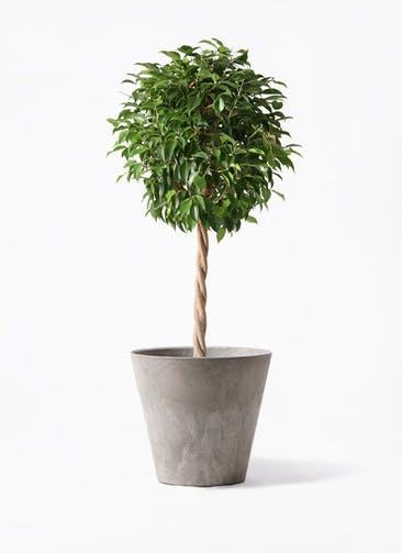 観葉植物 フィカス ベンジャミン 8号 玉造り アートストーン ラウンド グレー 付き