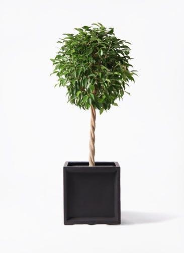 観葉植物 フィカス ベンジャミン 8号 玉造り ブリティッシュキューブ 付き