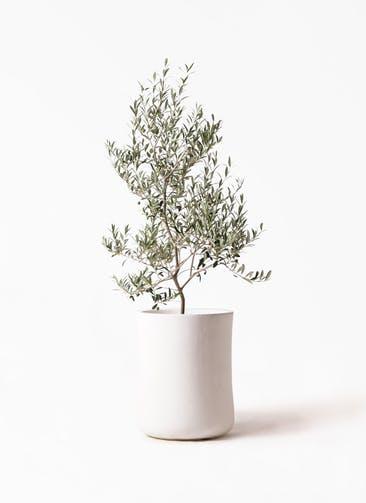 観葉植物 オリーブの木 8号 アルベキーナ バスク ミドル ホワイト 付き