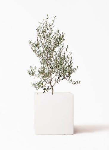 観葉植物 オリーブの木 8号 アルベキーナ バスク キューブ 付き