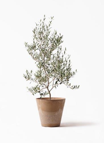 観葉植物 オリーブの木 8号 アルベキーナ アートストーン ラウンド ベージュ 付き