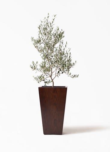 観葉植物 オリーブの木 8号 アルベキーナ MOKU スクエア 付き