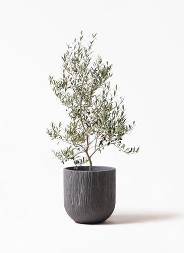 観葉植物 オリーブの木 8号 アルベキーナ カルディナダークグレイ 付き