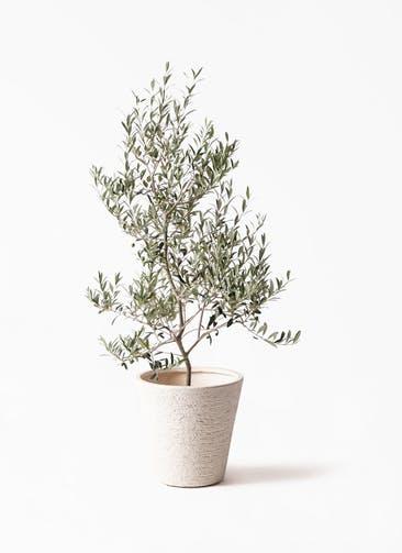 観葉植物 オリーブの木 8号 アルベキーナ ビアスソリッド 白 付き