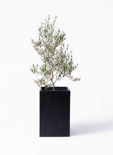 観葉植物 オリーブの木 8号 アルベキーナ セドナロング 墨 付き