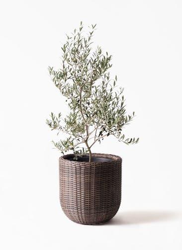 観葉植物 オリーブの木 8号 アルベキーナ ウィッカーポットエッグ 茶 付き