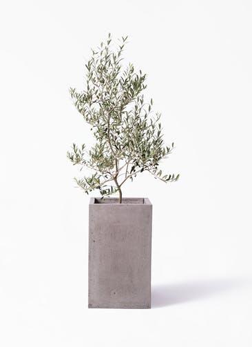 観葉植物 オリーブの木 8号 アルベキーナ セドナロング グレイ 付き