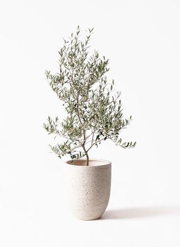 観葉植物 オリーブの木 8号 アルベキーナ ビアスアルトエッグ 白 付き