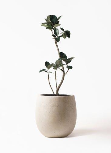 観葉植物 フィカス バーガンディ 8号 曲り テラニアス バルーン アンティークホワイト 付き