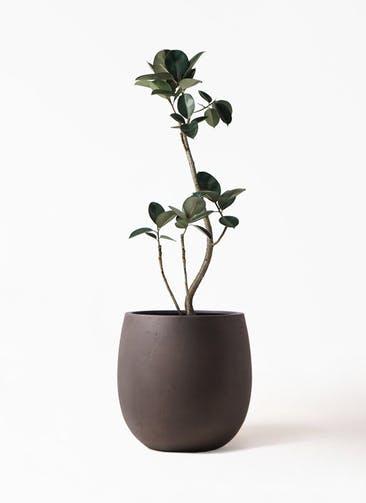 観葉植物 フィカス バーガンディ 8号 曲り テラニアス バルーン アンティークブラウン 付き