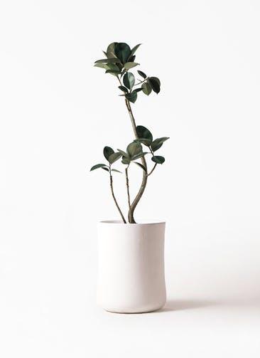 観葉植物 フィカス バーガンディ 8号 曲り バスク ミドル ホワイト 付き