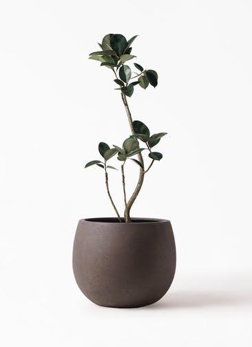 観葉植物 フィカス バーガンディ 8号 曲り テラニアス ローバルーン アンティークブラウン 付き
