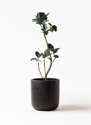 観葉植物 フィカス バーガンディ 8号 曲り エルバ 黒 付き