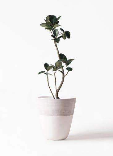 観葉植物 フィカス バーガンディ 8号 曲り ジュピター 白 付き