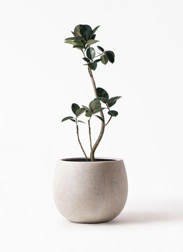 観葉植物 フィカス バーガンディ 8号 曲り テラニアス ローバルーン アンティークホワイト 付き