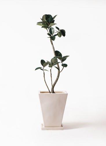 観葉植物 フィカス バーガンディ 8号 曲り スクエアハット 白 付き