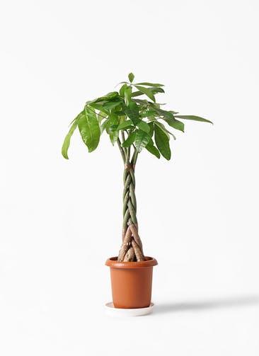観葉植物 パキラ 6号 ねじり プラスチック鉢