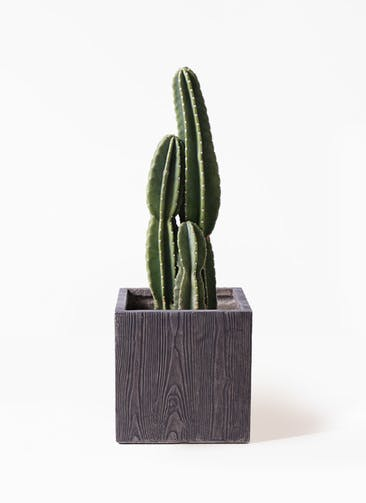 観葉植物 柱サボテン 8号 ベータ キューブプランター ウッド 茶 付き
