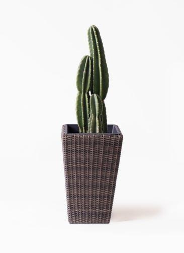 観葉植物 柱サボテン 8号 ウィッカーポット スクエアロング OT 茶 付き