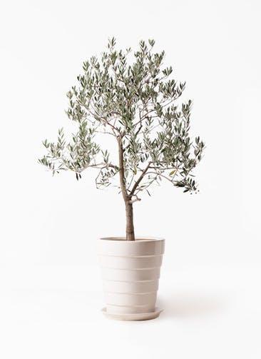 観葉植物 オリーブの木 10号 ピッチョリーネ サバトリア 白 付き
