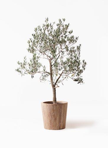 観葉植物 オリーブの木 10号 ピッチョリーネ ウッドプランター 付き