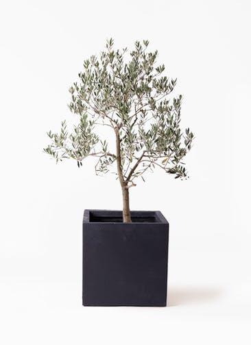観葉植物 オリーブの木 10号 ピッチョリーネ ベータ キューブプランター 黒 付き