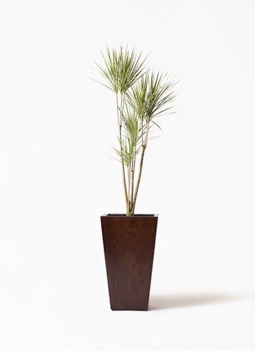 観葉植物 コンシンネ ホワイポリー 8号 ストレート MOKU スクエア 付き