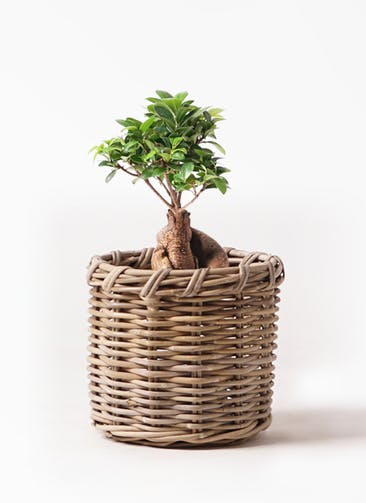 観葉植物 ガジュマル 6号 股仕立て グレイラタン 付き