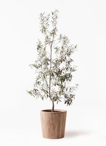 観葉植物 オリーブの木 10号 ワンセブンセブン ウッドプランター 付き