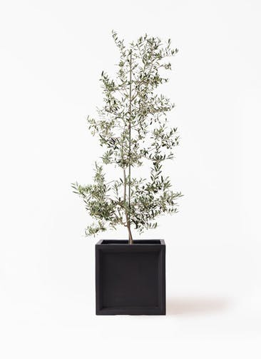 観葉植物 オリーブの木 10号 アルベキーナ ブリティッシュキューブ 付き