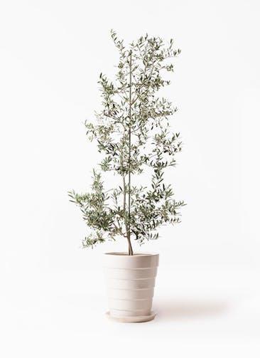 観葉植物 オリーブの木 10号 アルベキーナ サバトリア 白 付き