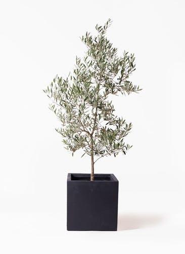観葉植物 オリーブの木 10号 ピクアル ベータ キューブプランター 黒 付き